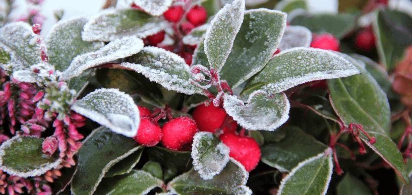 winter-balkonpflanze-mit-eis
