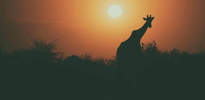 giraffe-im-sonnenuntergang-in-afrika
