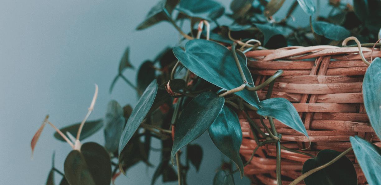 Zimmerpflanzen f r den urlaub vorbereiten blog - Zimmerpflanzen fur schatten ...
